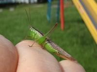 grasshopper4.JPG